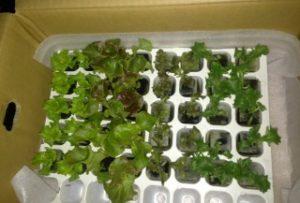 植物育成LEDによるレタス(4種類)の育成開始。
